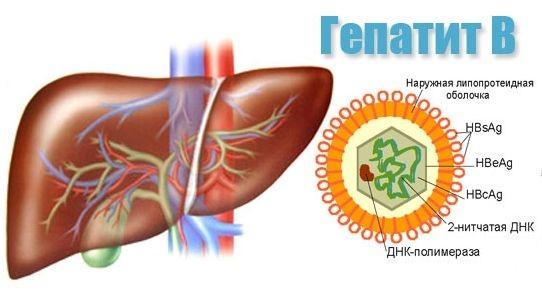 печень и вирус гепатита В