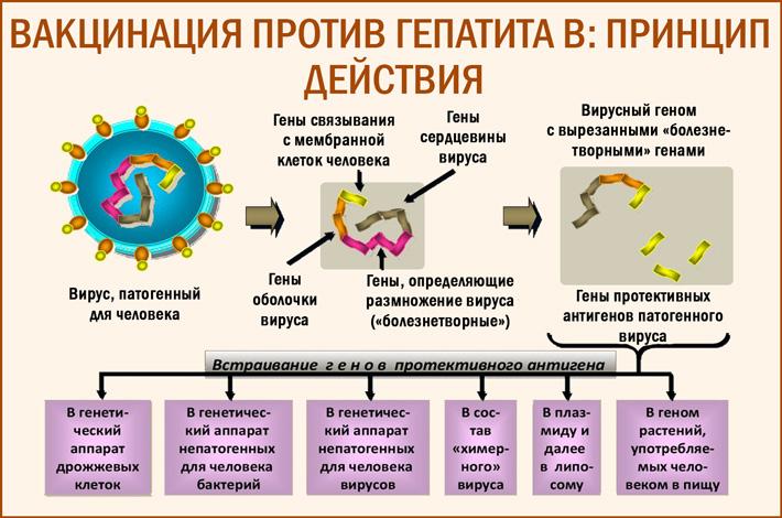принцип действия вакцинации от гепатита