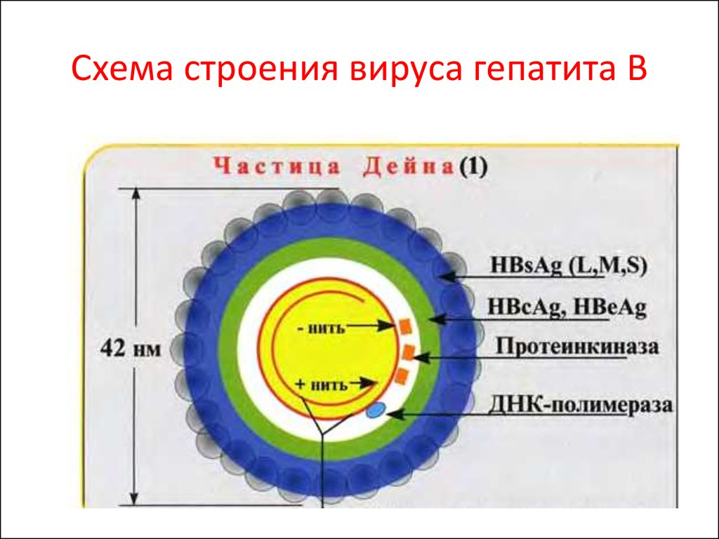 строение вируса гепатит в