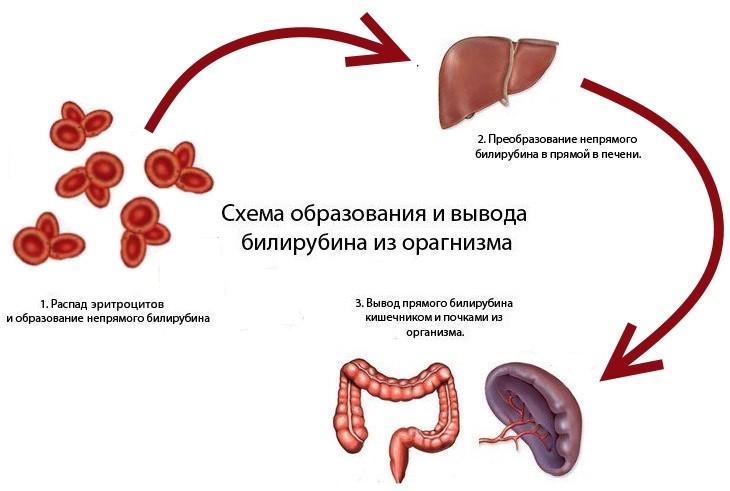 схема движения билирубина в организме